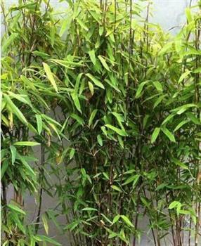 bambou cannes noires non tra ant trifina. Black Bedroom Furniture Sets. Home Design Ideas